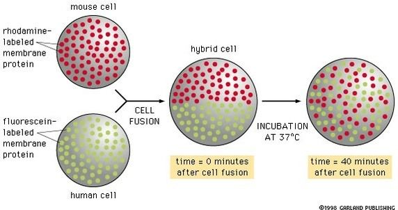 細胞膜流動性