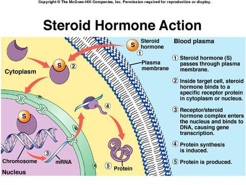 ステロイドホルモン