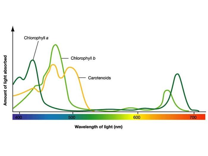 chlorophyll absorption peaks