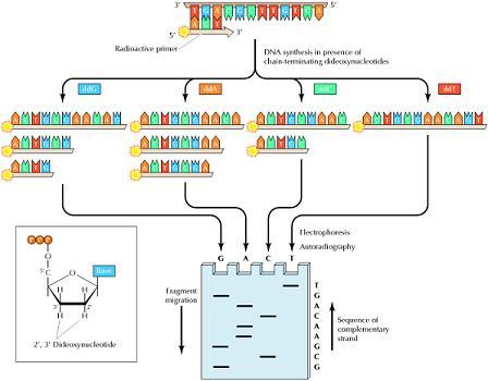 DNAシークエンス