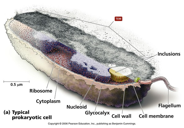 prokaryote2
