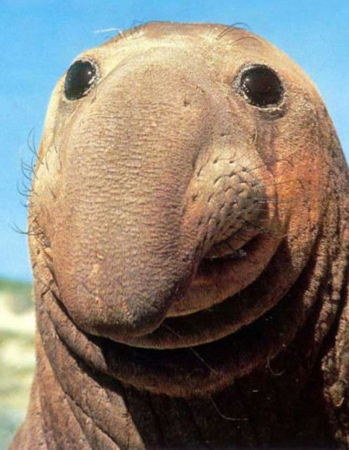 happy-elephant-seal-big-nose