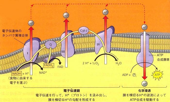 電子伝達系