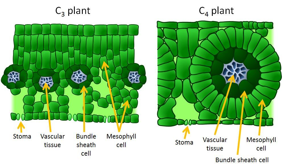 Leaf Anatomy Of C3 C4 And Cam Plants 3180284 Togelmayafo