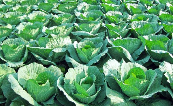 キャベツ農家の平均年収1168万円 平均労働時間3.1h/日 平均労働日数212日←これ