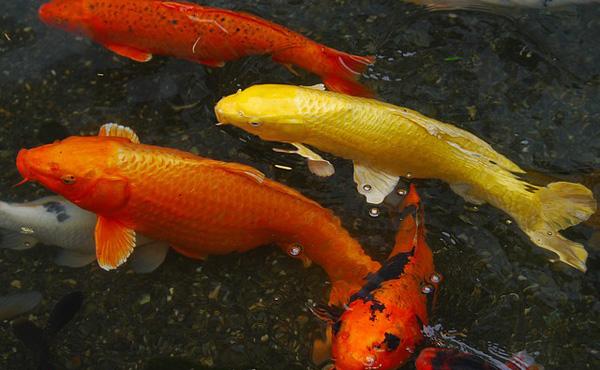中国人富裕層、日本の錦鯉を爆買い。1匹2億円で落札