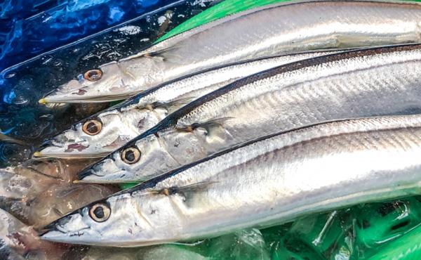 サンマ、1キロ4万円!1匹5980円の超高級魚に 歴史的不漁で初水揚げわずか197匹