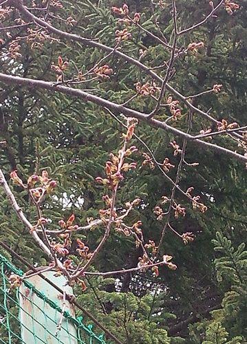sakura初め2