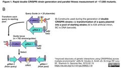 Rapid double CRISPRi