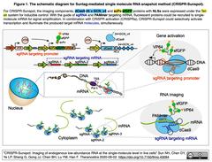 CRISPR-Sunspot