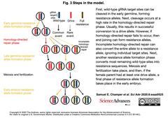 CRISPR homing gene drive