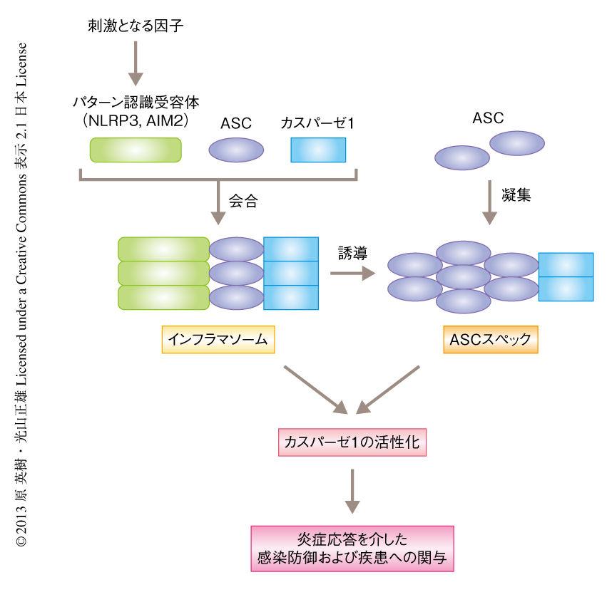 crisp_bio  インフラマソームを制御して、アミロイドβの凝集・沈着を抑制するコメント