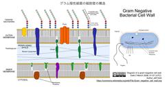 グラム陰性細菌の細胞壁の構造