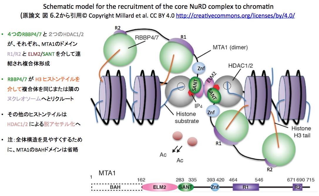 ヌクレオソーム再構築デアセチラーゼ複合体(NuRD)形成と機能の構造 ...