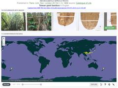 ma bamboo