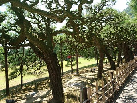 栗林公園の松2