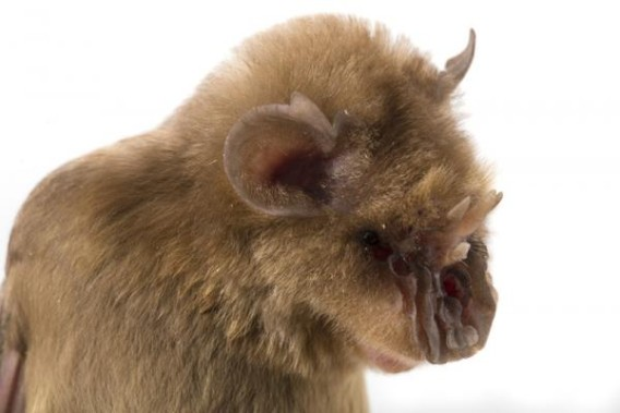fe8ac754 新種コウモリ発見。チューバッカコウモリ!