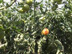 春トマト2