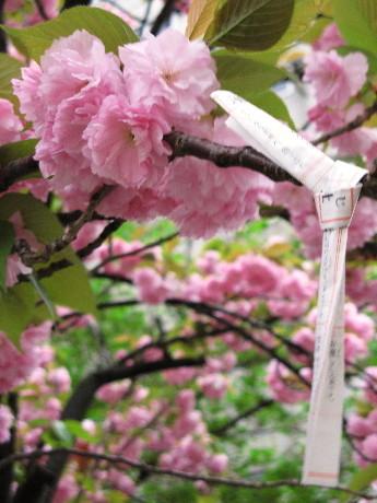 桜とおみくじ