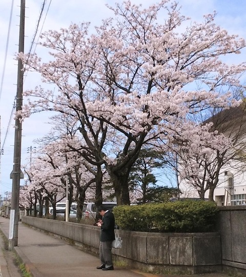 Sakura_small