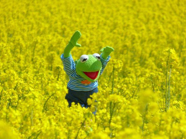 oilseed-rape-383279_960_720