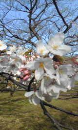 代々木公園の桜2