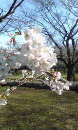 代々木公園の桜1