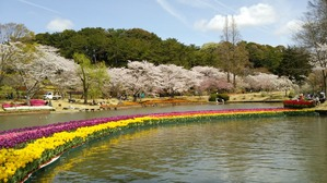 チューリップと桜並木。