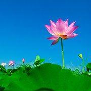lotus-563456__180