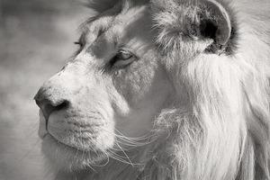 white-lion-2818954__340