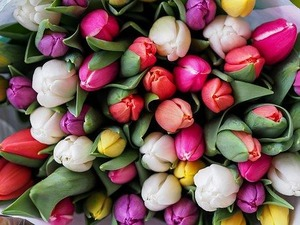 tulips-1246264__340