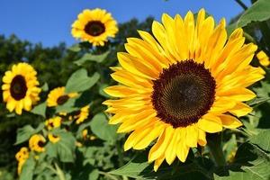 sunflower-1627193__340