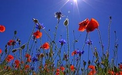 field-of-poppies-807871__180