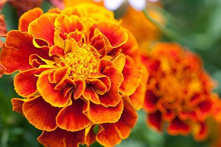 マリーゴールドの花言葉は勇者  7月18日の花と❀花言葉❀苔薔薇(こけばら)、マリーゴールド、花ざくろ , NAVER まとめ