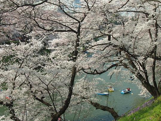 20150330北の丸公園桜2