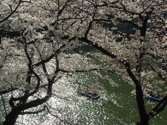20150331北の丸公園桜