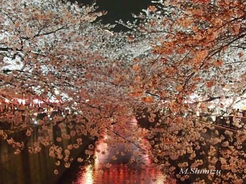 2017目黒川桜