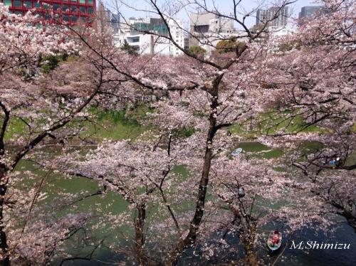 2017北の丸公園桜