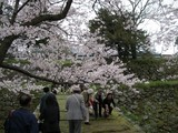 070331桜 秋月 桜2