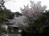 070331桜 太宰府天満宮横の桜