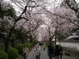 070331桜 秋月 桜1