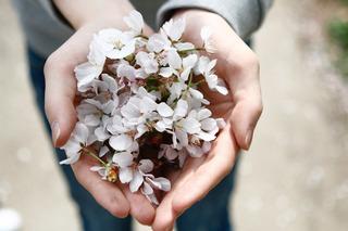 手の中の桜