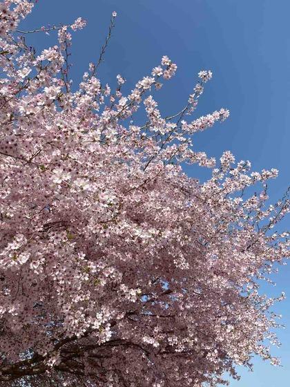 桜〜さくら〜