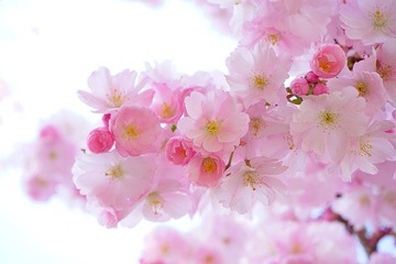 japanese-cherry-trees-324175__340[1]