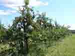 0913apple trees