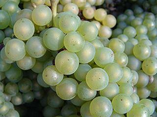 800px-Chardonnay_grapes_close_up