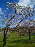 s-2010桜 1