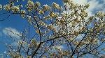 s-2010桜 2