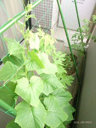 緑のカーテン14日目