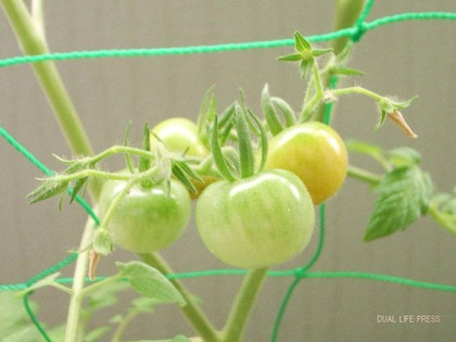 プチトマト色づき始め